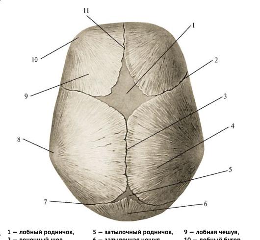 Схема расположения швов черепа новорождённого (вид сверху).